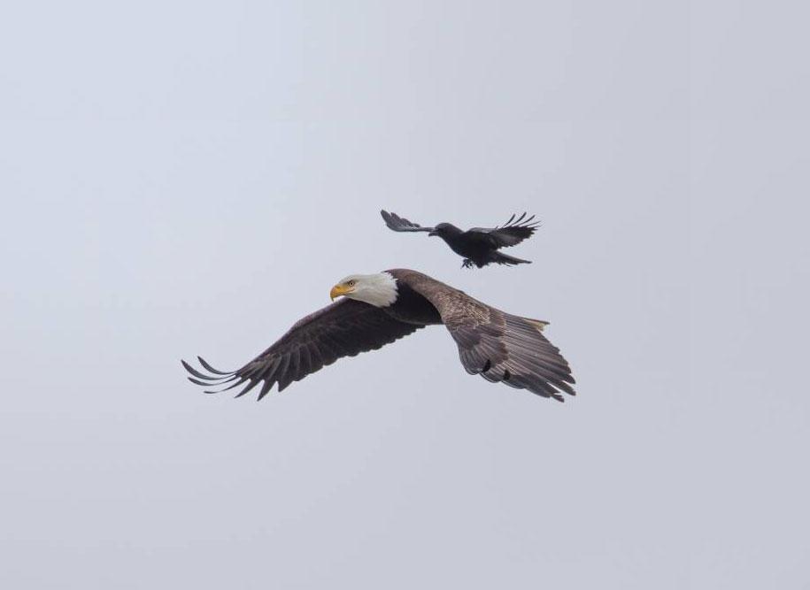 funny-animals-crow-riding-eagle-phoo-chan-1