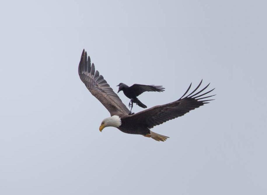 funny-animals-crow-riding-eagle-phoo-chan-2