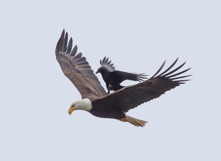 funny-animals-crow-riding-eagle-phoo-chan-4