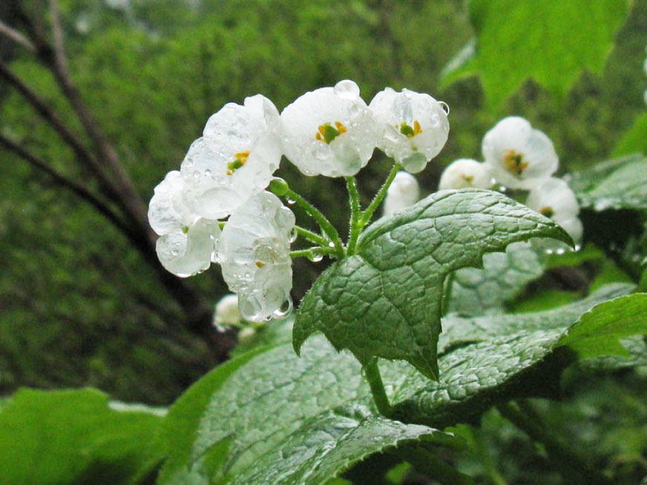 transparent-rain-wet-skeleton-flowers-diphylleia-grayi-11
