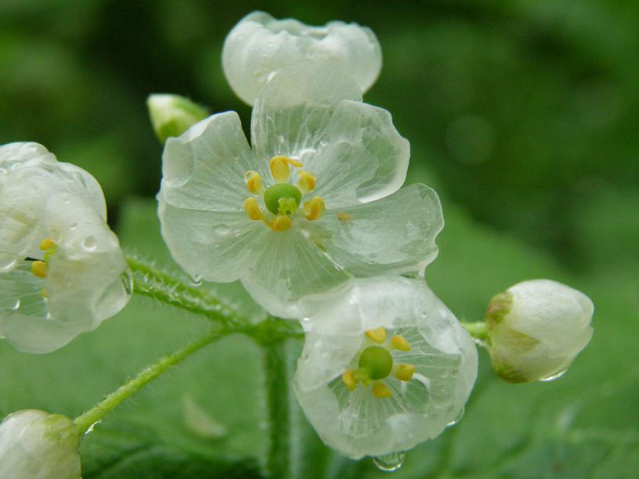 transparent-rain-wet-skeleton-flowers-diphylleia-grayi-12