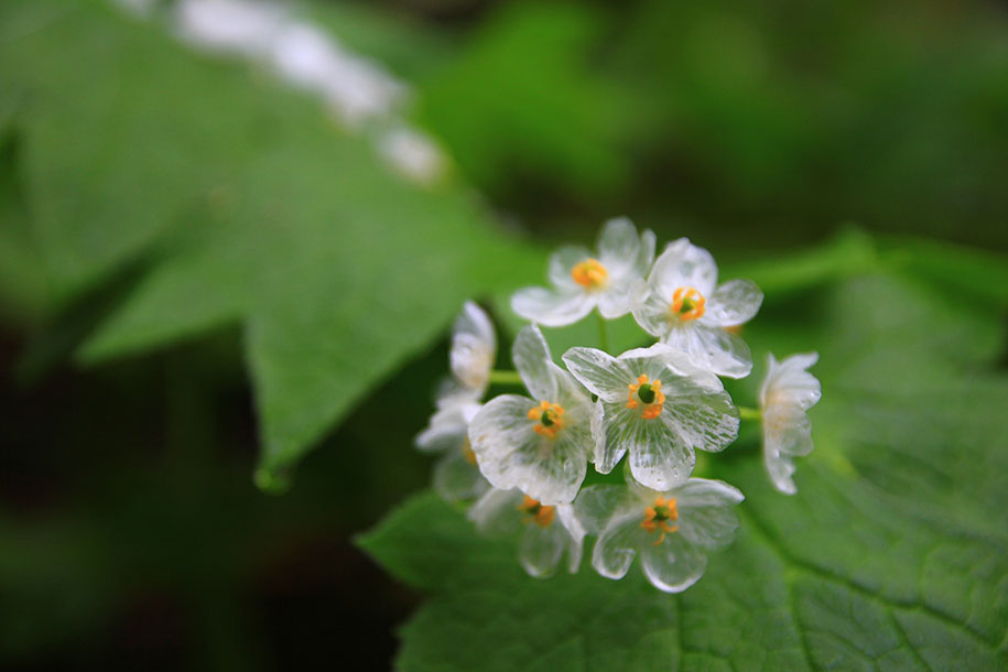 transparent-rain-wet-skeleton-flowers-diphylleia-grayi-20