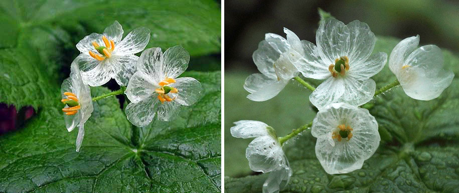 transparent-rain-wet-skeleton-flowers-diphylleia-grayi-23