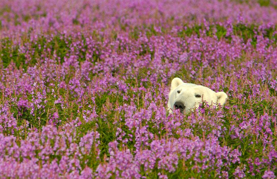 polar-bears-summer-fields-playing-photo-dennis-fast-canada-15