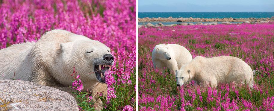 polar-bears-summer-fields-playing-photo-dennis-fast-canada-19