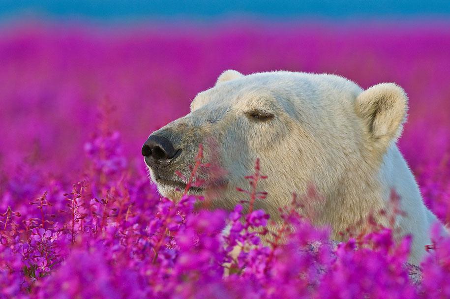 polar-bears-summer-fields-playing-photo-dennis-fast-canada-21