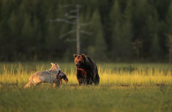 unusual-animal-friendship-gray-wolf-brown-bear-lassi-rautiainen-finland-101
