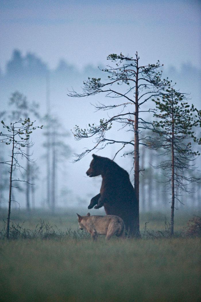 unusual-animal-friendship-gray-wolf-brown-bear-lassi-rautiainen-finland-131