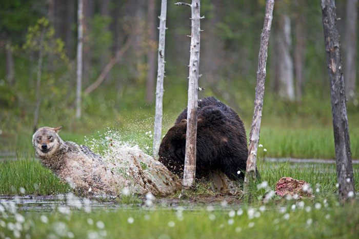 unusual-animal-friendship-gray-wolf-brown-bear-lassi-rautiainen-finland-151
