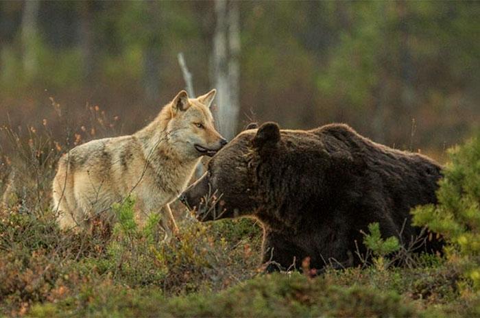 unusual-animal-friendship-gray-wolf-brown-bear-lassi-rautiainen-finland-18