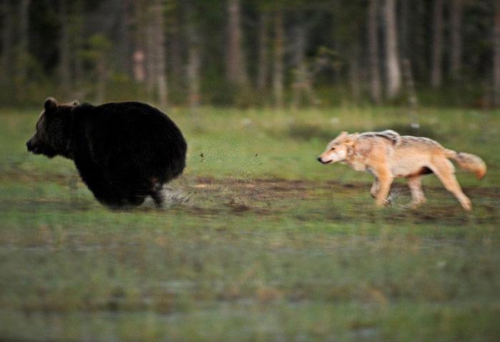unusual-animal-friendship-gray-wolf-brown-bear-lassi-rautiainen-finland-21