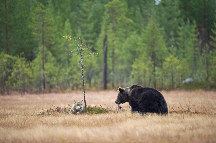 unusual-animal-friendship-gray-wolf-brown-bear-lassi-rautiainen-finland-51