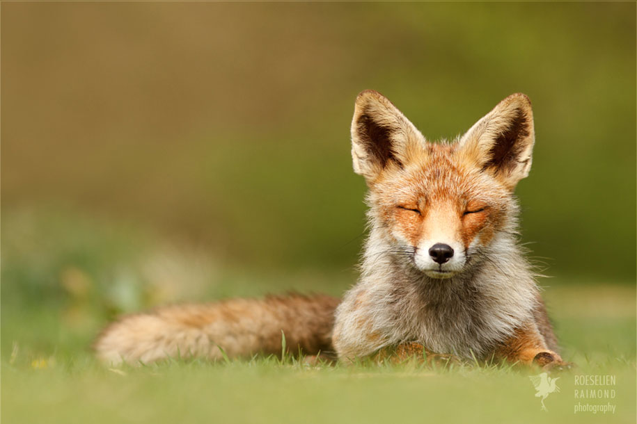 happy-relaxed-animals-zen-foxes-roeselien-raimond-netherlands-1