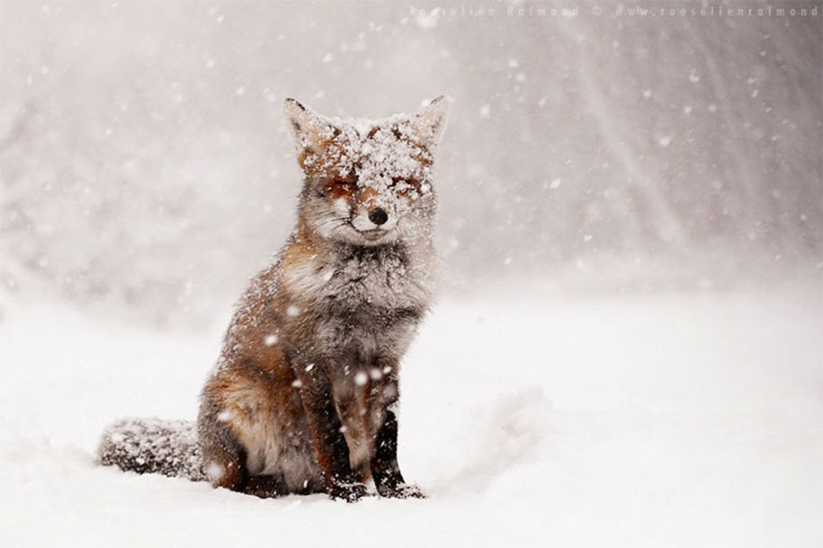 happy-relaxed-animals-zen-foxes-roeselien-raimond-netherlands-15