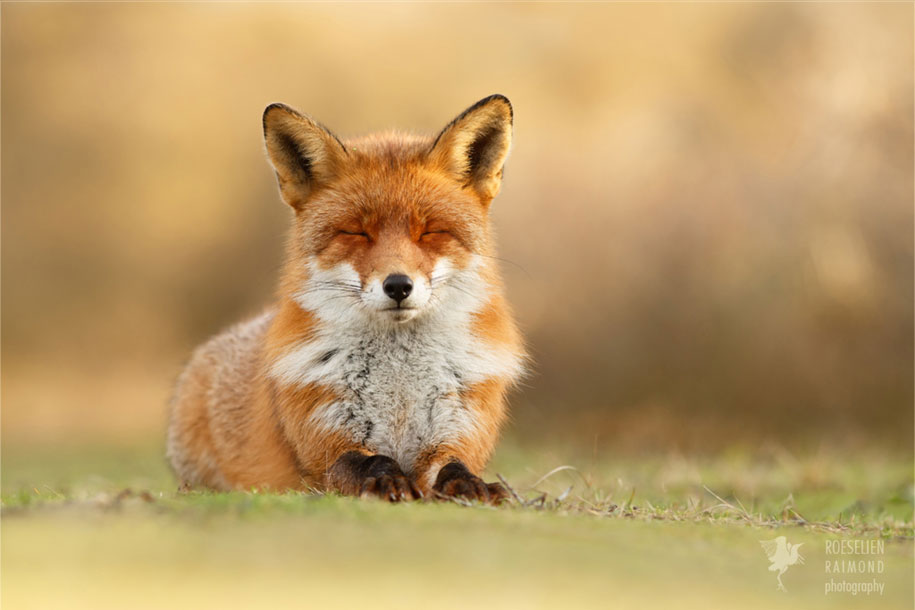 happy-relaxed-animals-zen-foxes-roeselien-raimond-netherlands-2