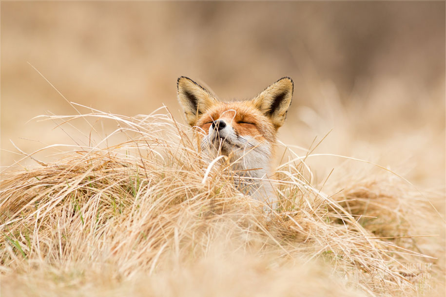 happy-relaxed-animals-zen-foxes-roeselien-raimond-netherlands-3
