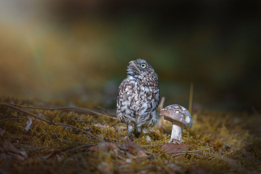 animal-photo-owl-hide-rain-mushroom-podli-tanja-brandt-6