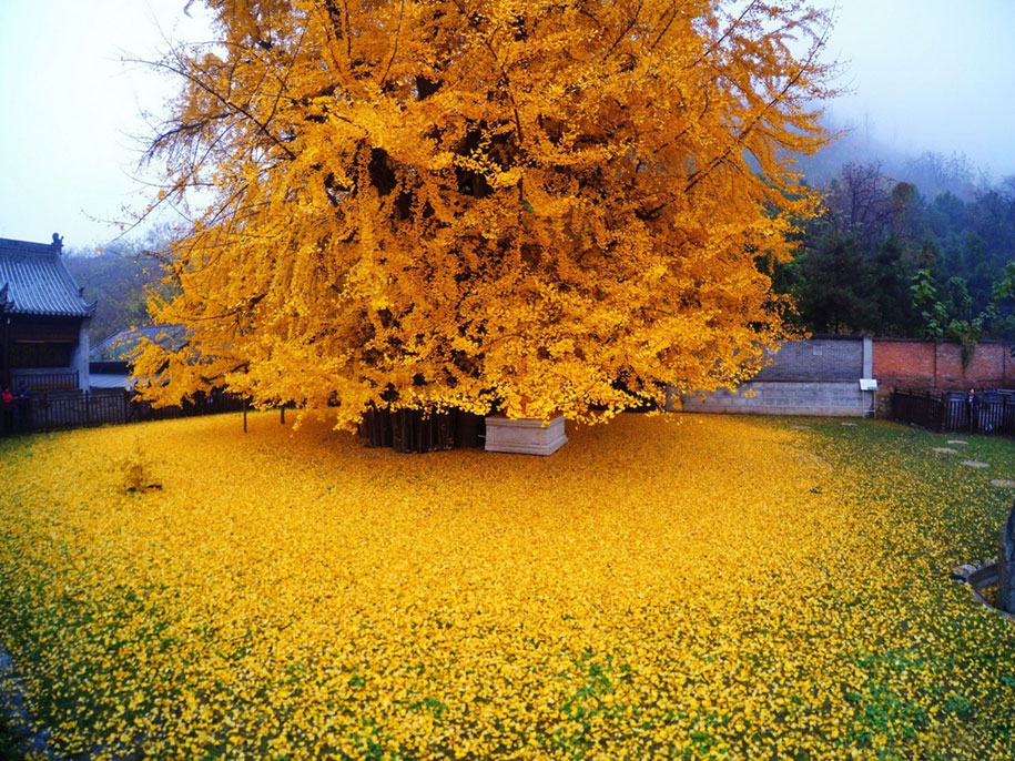 yellow-leaves-1400-year-old-ginko-tree-gu-guanyin-buddhist-temple-china-1