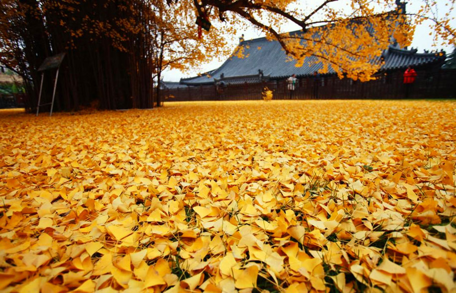yellow-leaves-1400-year-old-ginko-tree-gu-guanyin-buddhist-temple-china-4