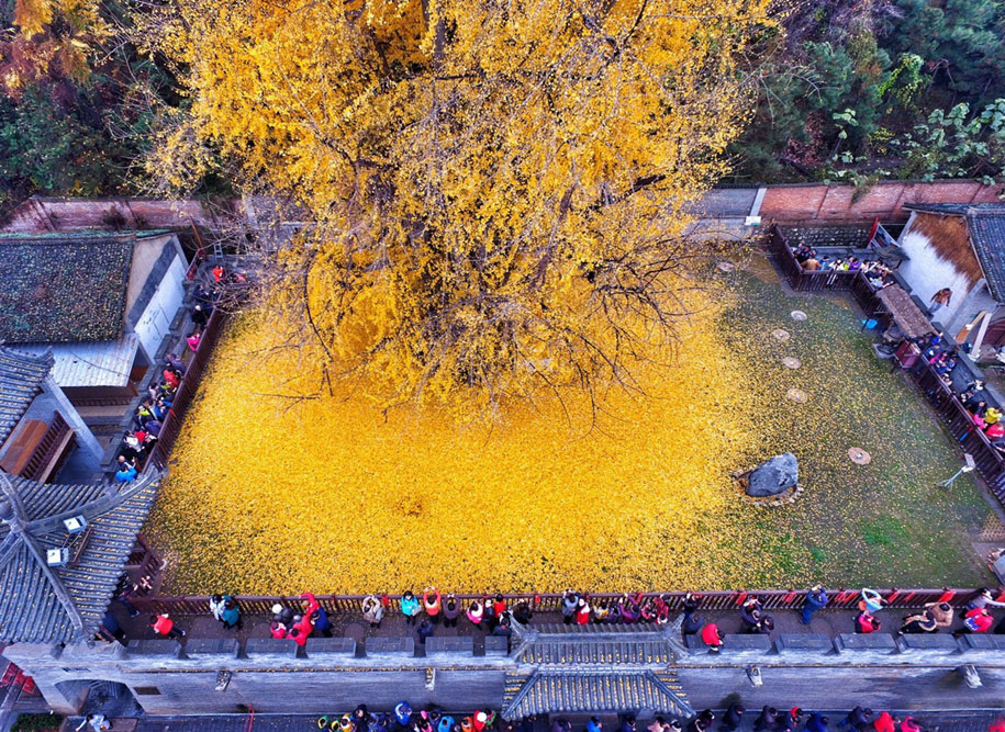yellow-leaves-1400-year-old-ginko-tree-gu-guanyin-buddhist-temple-china-5