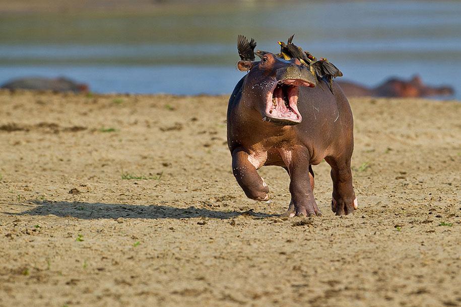 funny-animal-pictures-comedy-wildlife-photography-awards-paul-joynson-hicks-9