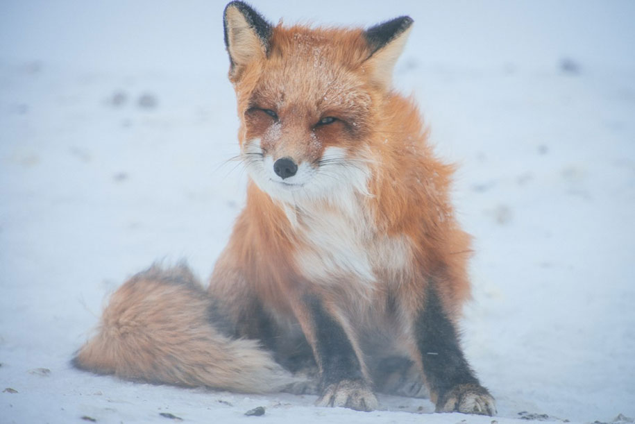 winter-fox-photos-russian-miner-ivan-kislov-chukotka-10