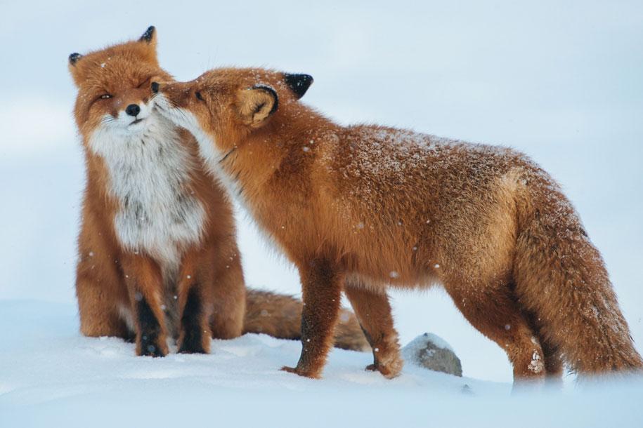 winter-fox-photos-russian-miner-ivan-kislov-chukotka-13