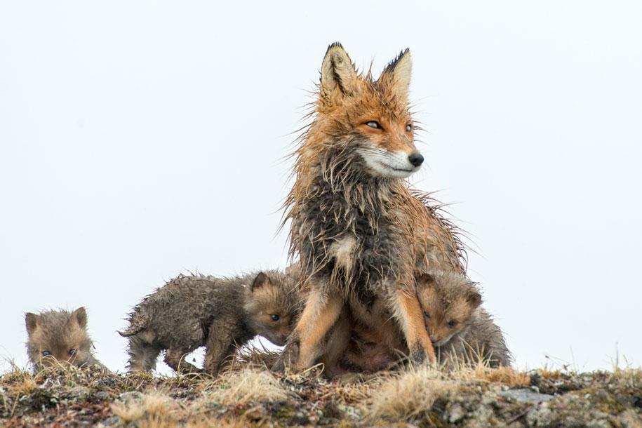 winter-fox-photos-russian-miner-ivan-kislov-chukotka-15