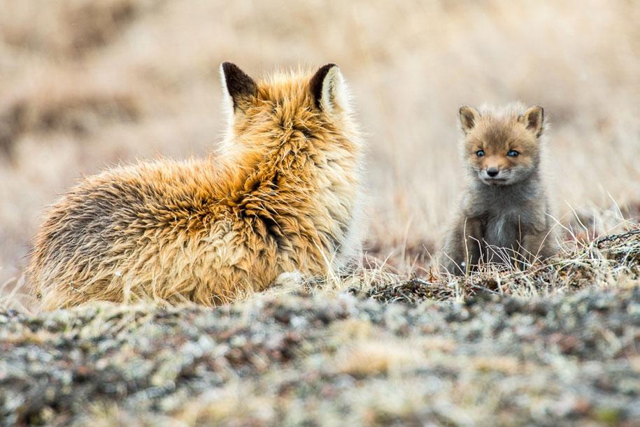 winter-fox-photos-russian-miner-ivan-kislov-chukotka-17
