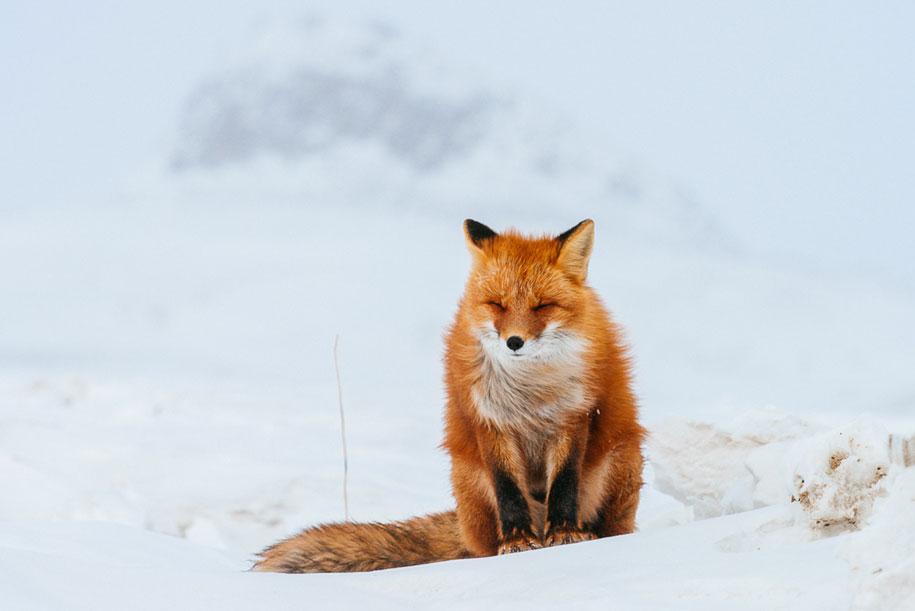 winter-fox-photos-russian-miner-ivan-kislov-chukotka-19