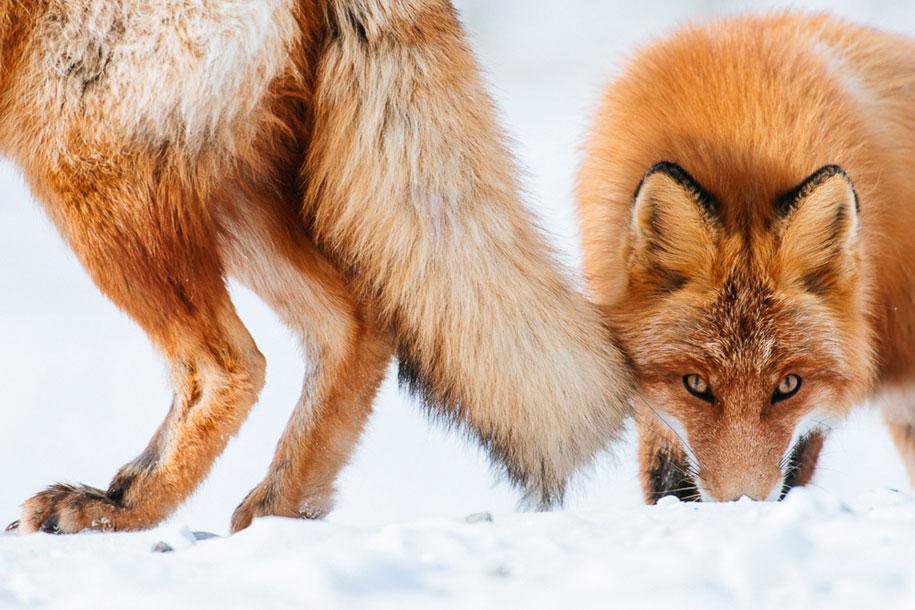 winter-fox-photos-russian-miner-ivan-kislov-chukotka-20