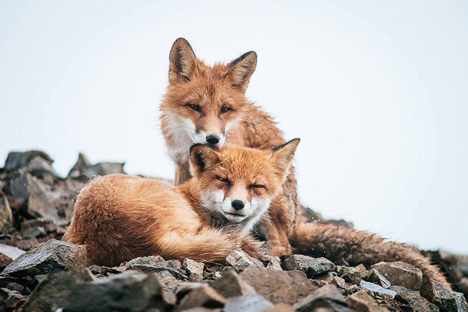 winter-fox-photos-russian-miner-ivan-kislov-chukotka-23