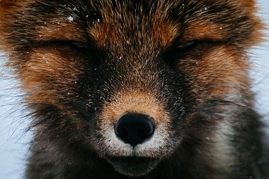 winter-fox-photos-russian-miner-ivan-kislov-chukotka-24