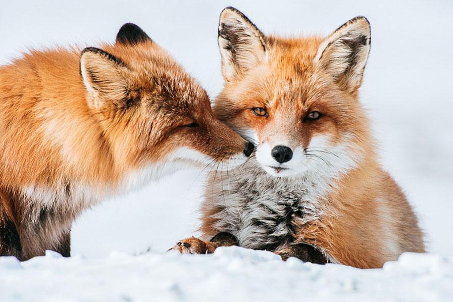 winter-fox-photos-russian-miner-ivan-kislov-chukotka-25