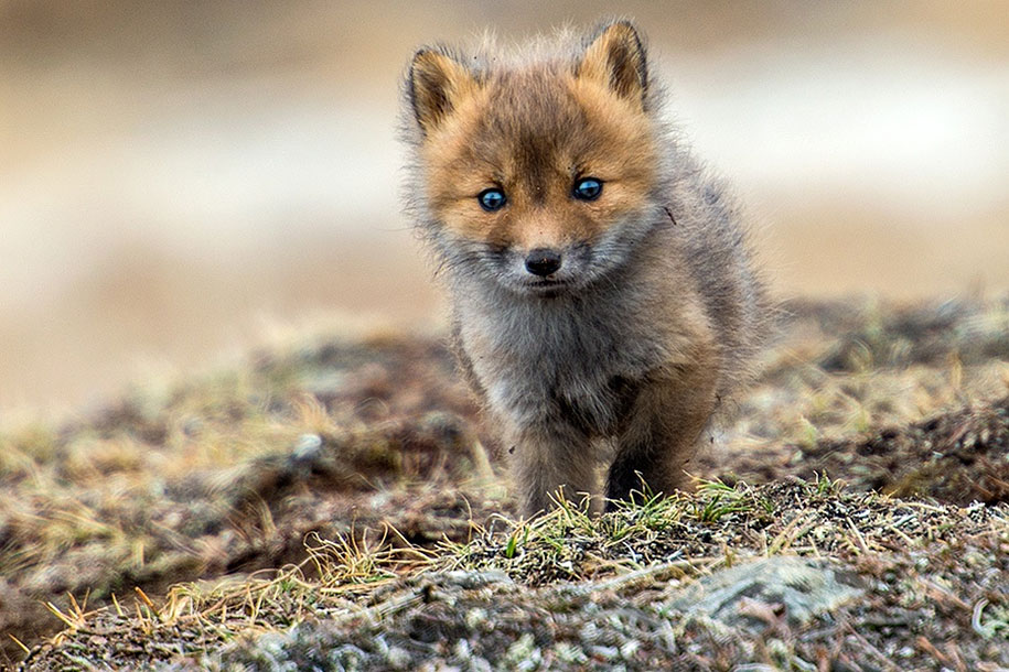 winter-fox-photos-russian-miner-ivan-kislov-chukotka-26