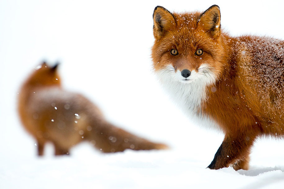 winter-fox-photos-russian-miner-ivan-kislov-chukotka-27