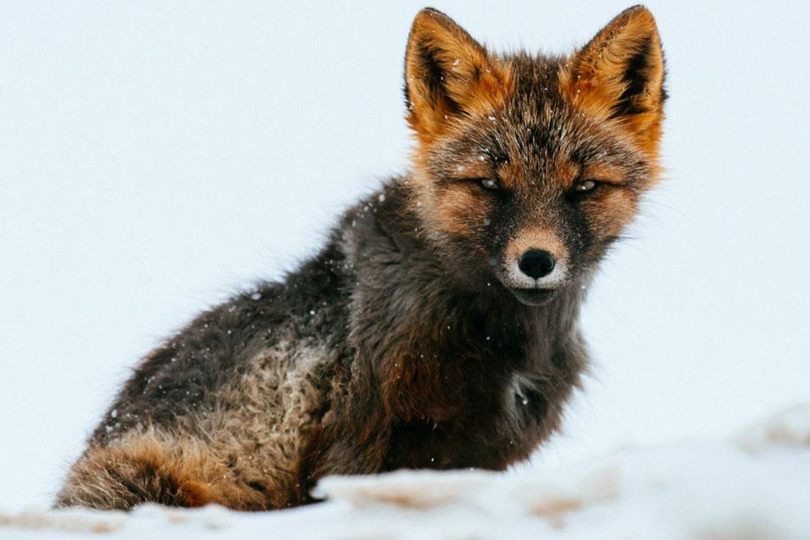 winter-fox-photos-russian-miner-ivan-kislov-chukotka-3