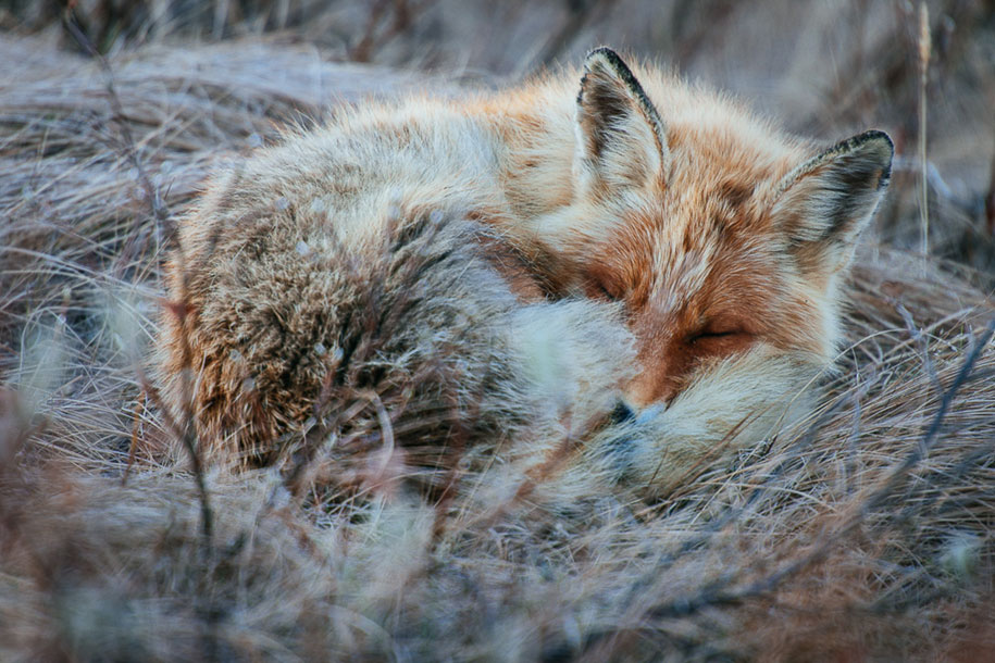 winter-fox-photos-russian-miner-ivan-kislov-chukotka-5