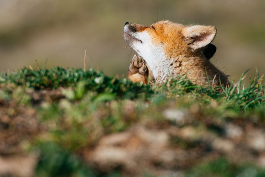 winter-fox-photos-russian-miner-ivan-kislov-chukotka-6