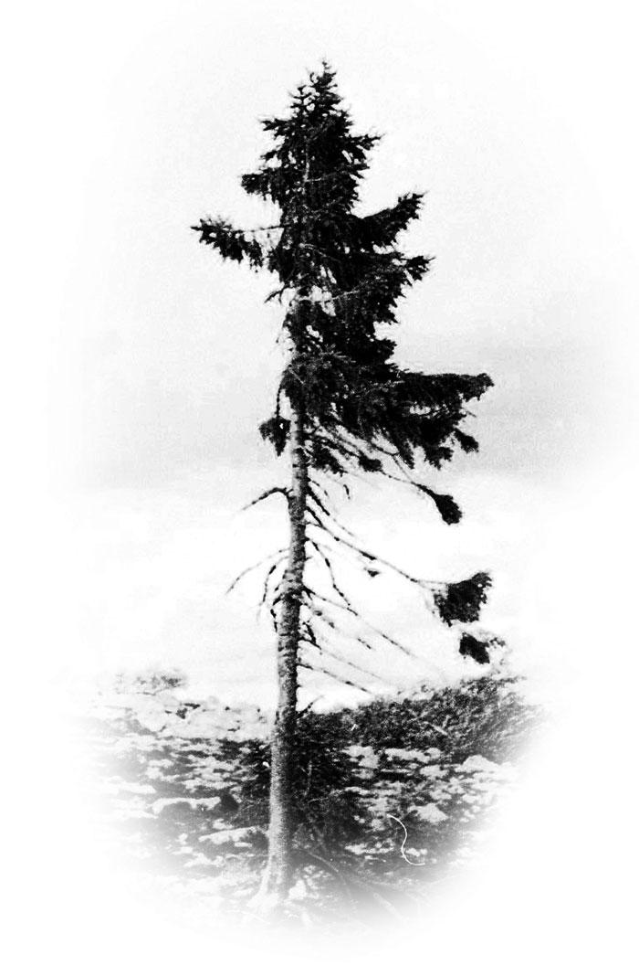 worlds-oldest-tree-9500-year-old-tjikko-sweden-1