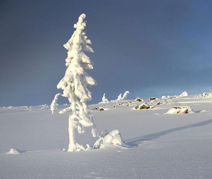 worlds-oldest-tree-9500-year-old-tjikko-sweden-2