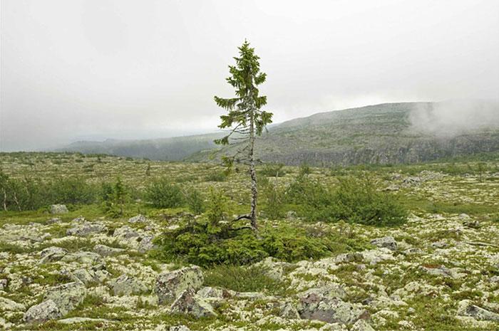 worlds-oldest-tree-9500-year-old-tjikko-sweden-5