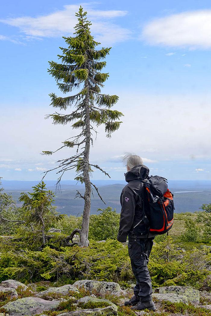 worlds-oldest-tree-9500-year-old-tjikko-sweden-6