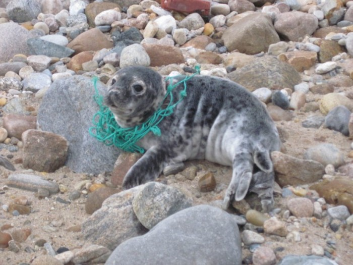 Entangled young seal