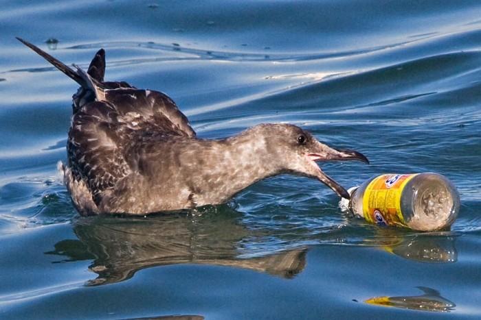 A seabird going for a glass bottle