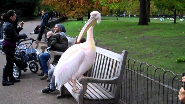 Pelicans in St Jame's Park