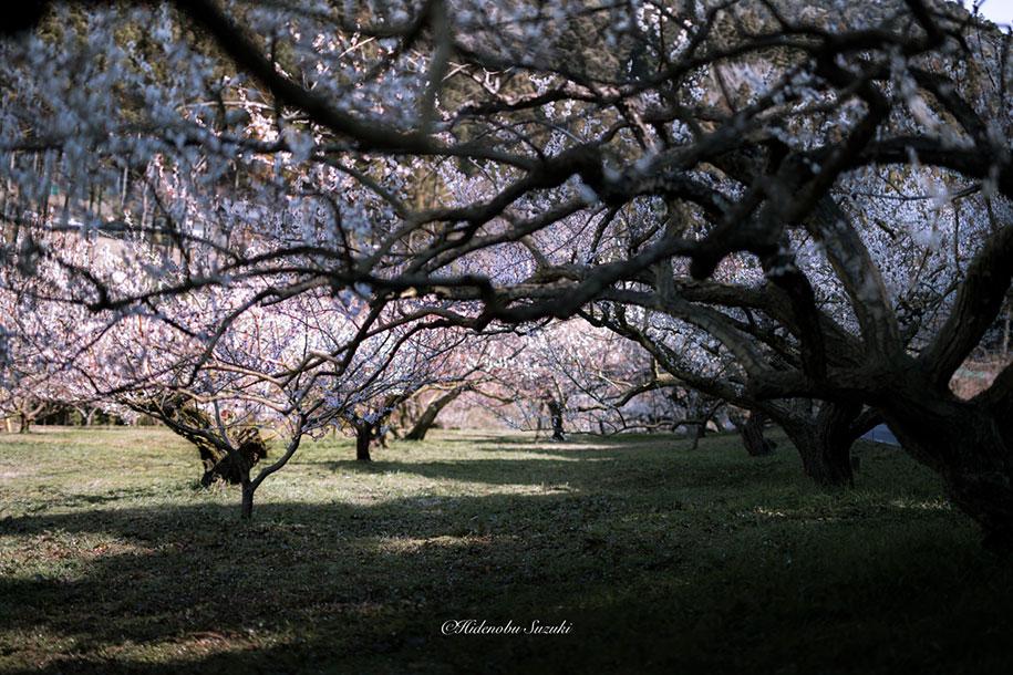 trees-blooming-spring-in-japan-hidenobu-suzuki -15