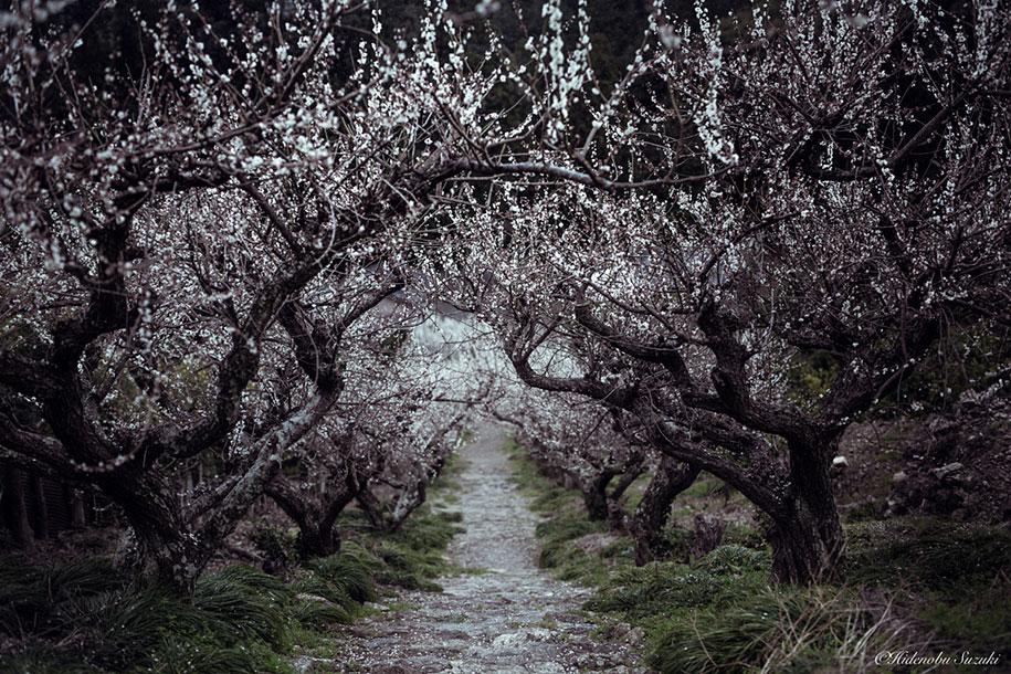 trees-blooming-spring-in-japan-hidenobu-suzuki -5