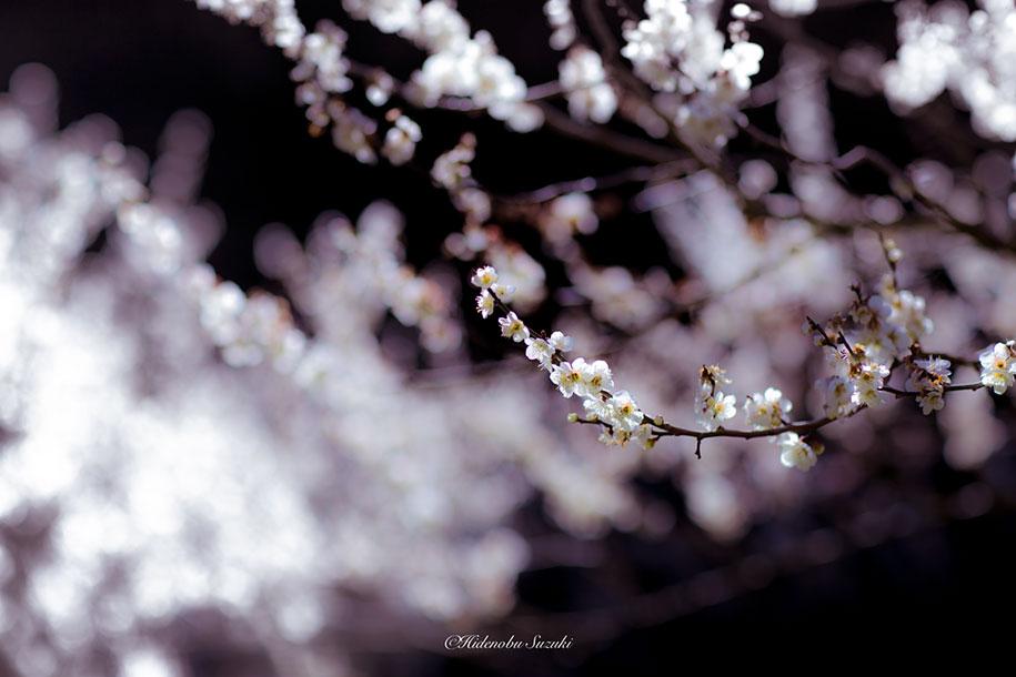 trees-blooming-spring-in-japan-hidenobu-suzuki -6