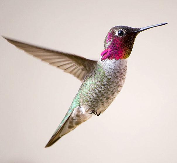 hummingbird-closeup-photography-tracy-johnson-california-7